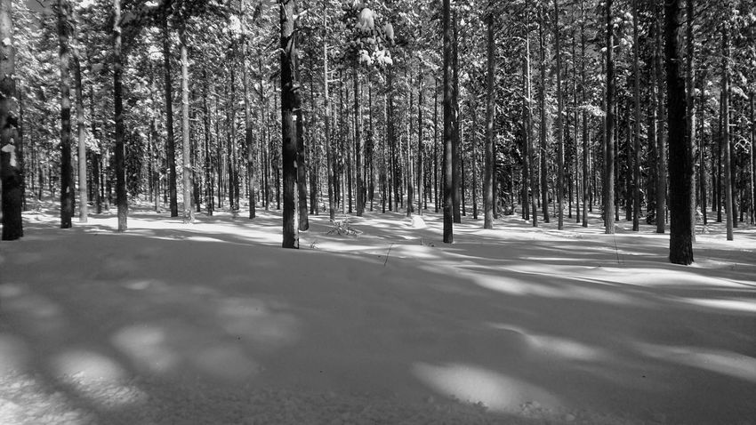 Black And White Shadows Nice Day Sunny Springtime White Sun Tree Snow Cold Temperature Winter Forest Shadow Pine Tree Sunlight Pinaceae Sky Deep Snow Pine Woodland Tree Trunk Frozen WoodLand Countryside Woods Bare Tree