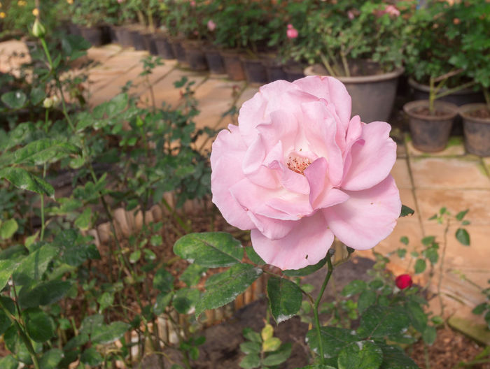 High angle view of pink rose amidst plants