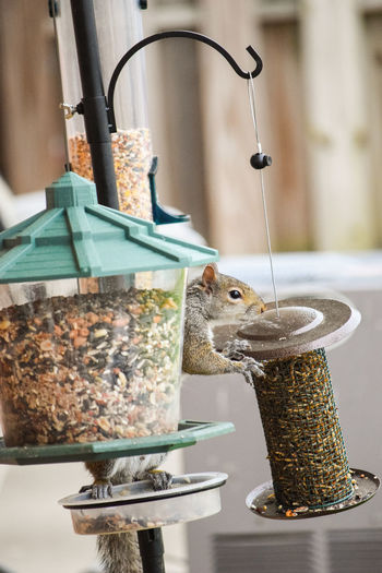 Side view of squirrel eating bird food