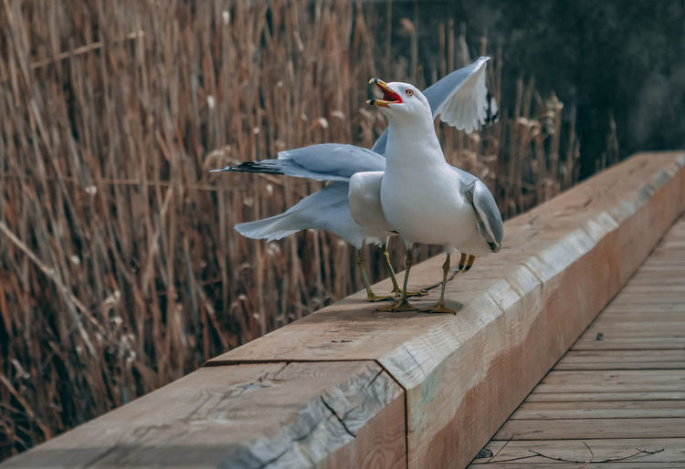 Animal Animal Themes Animal Wildlife Animals In The Wild Beak Bird Day Focus On Foreground Full Length Group Of Animals Mouth Open Nature No People Outdoors Perching Seagull Spread Wings Vertebrate Wood - Material