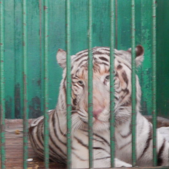 Captured Beauty . Albino Tiger Animal Behind Bars Barred Beaut Free The Animals In Captivity Tiger Zoo Life