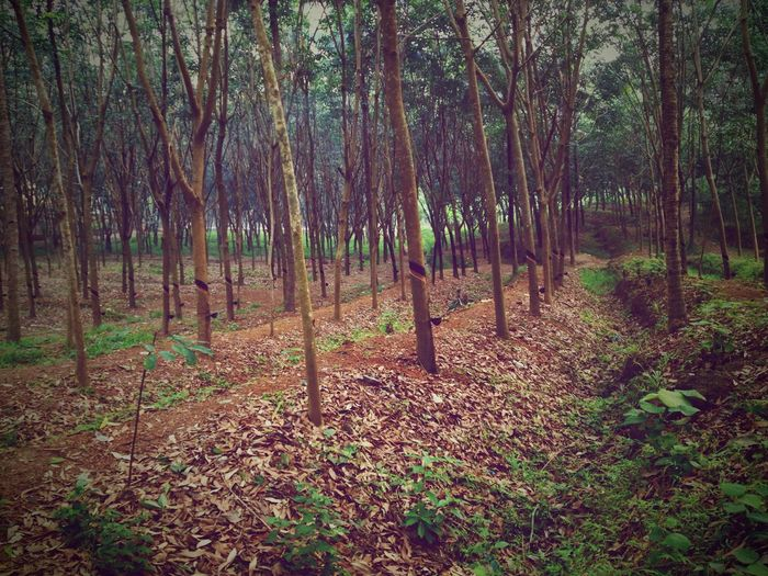 Getting Inspired Experimental Nostalgic Place Rubber Tree Light And Shadow Tripping Nature Friends Kerala India