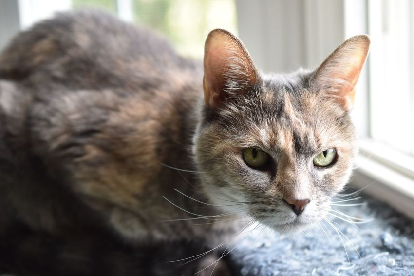 My lover's cat, Jilly curious looking Looking At Camera Pet Portrait Senior Old Curious Looking Looking At Camera Dilute Calico Cat Dilutedtortie Pet Portrait Tortie Tortiecat Resting Window Cat Feline Tortoiseshell Cat Domestic Cat Looking At Camera Window Close-up Cat At Home Home Alertness