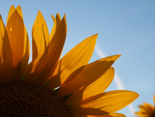 43 Golden Moments Beauty In Nature Blooming Blossom Botany Close-up Day Flower Flower Head Focus On Foreground Fragility Freshness Growth In Bloom Nature No People Orange Color Colour Of Life Petal Plant Sky Stem Sunflower Sunflower Yellow