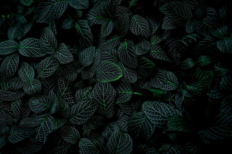 Green leaf texture on dark background. close-up detail of indoor houseplant. beauty house plant.