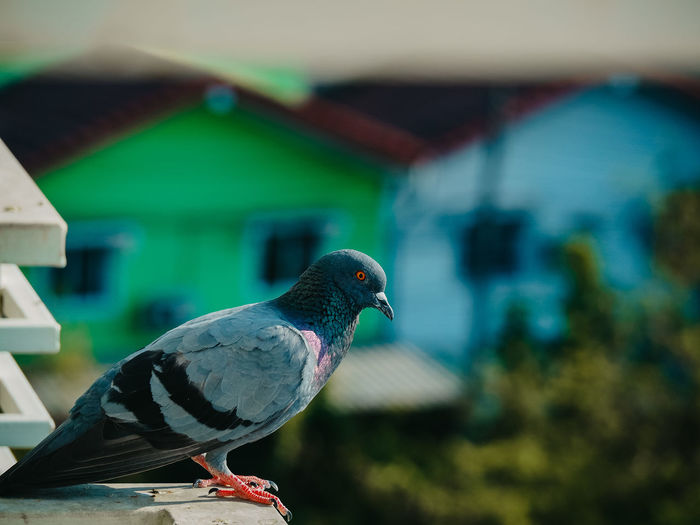 Close-up of pigeon perching on roof