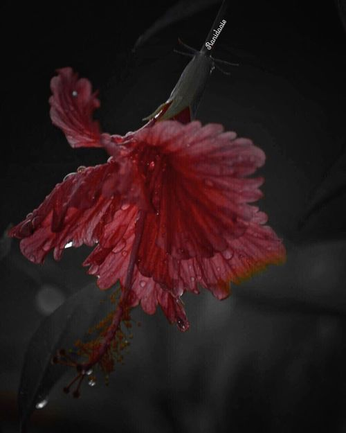 Red Nature Water Change Beauty In Nature Close-up Flower Head Flower Marco Photography :: หยดน้ำชโลมจิตใจ ::💦