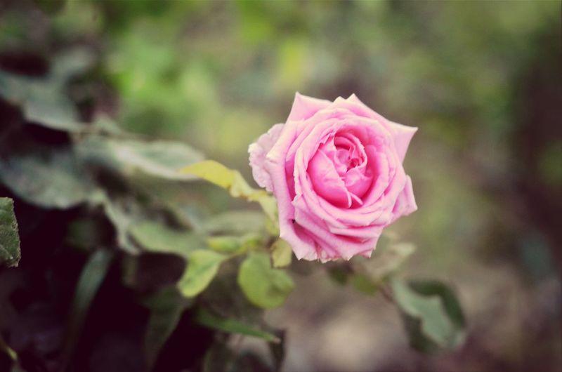 Cyprus Roses Flowers