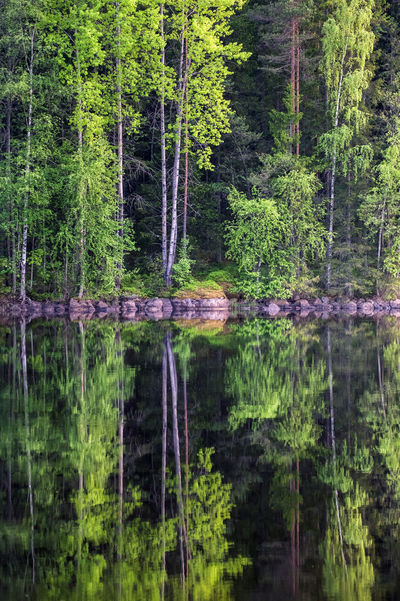 Beautiful forest reflection from lake at bright summer day in Liesjärvi National Park, Finland Beauty In Nature Day Evening Light Forest Fresh Freshness Green Color Green Color Growth Lake Landscape Leaf Lush Foliage National Park Nature Reflection Spring Stone Summer Summertime Sunlight Tree Tree Trees Water