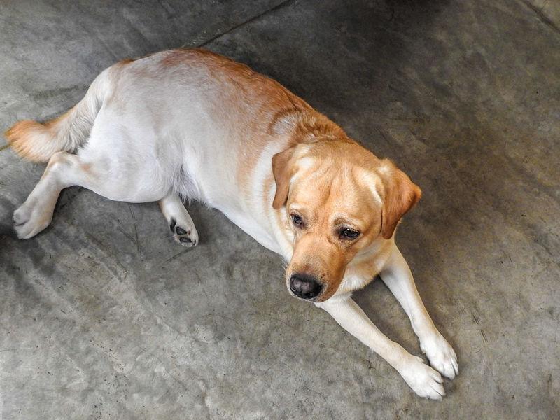 Dog Domestic Animals Flooring Labrador Labrador Retriever Lying Down No People Pets Relaxation Resting Yellow Labrador