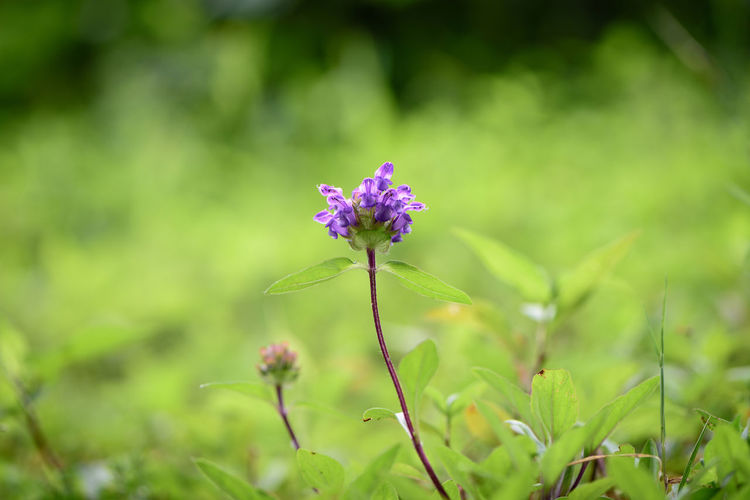 Beauty In Nature Flower Flower Head Focus On Foreground Freshness Green Color Nikon Prunella Vulgaris Purple
