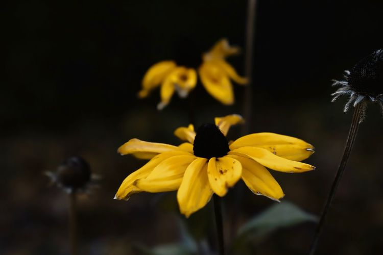 Close-up of black-eyed susan blooming in park