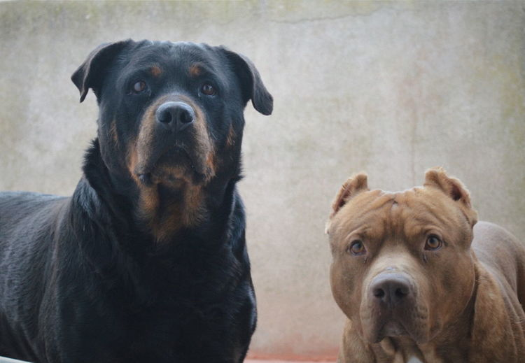 Homero Apolo Dogs Love First Eyeem Photo Pitbull Rottweiler