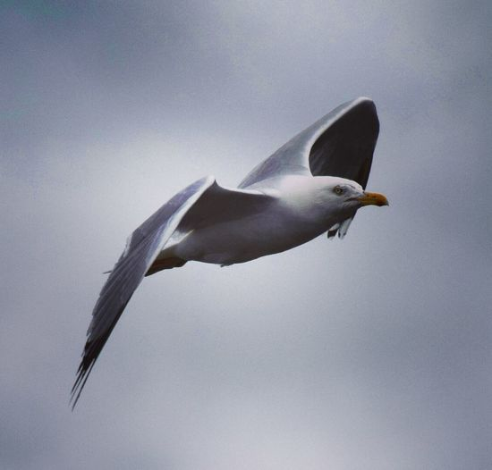 Bird Birds Bird Photography Sea Gull Gull Gulls In Flight Inflight Flying Wings Nature Scotland Scottish Highlands Nature_collection Nature Photography EyeEm Best Shots - Nature EyeEm Best Shots Capturing Movement Birds Of EyeEm  Check This Out