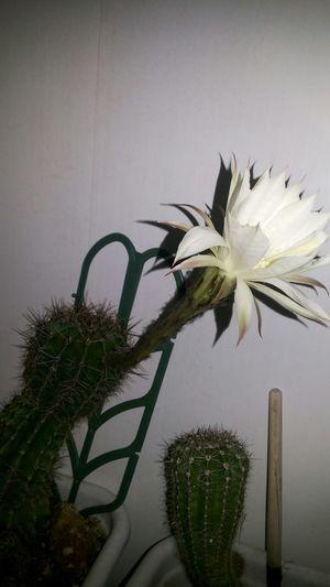 Kaktus flower Kaktusy