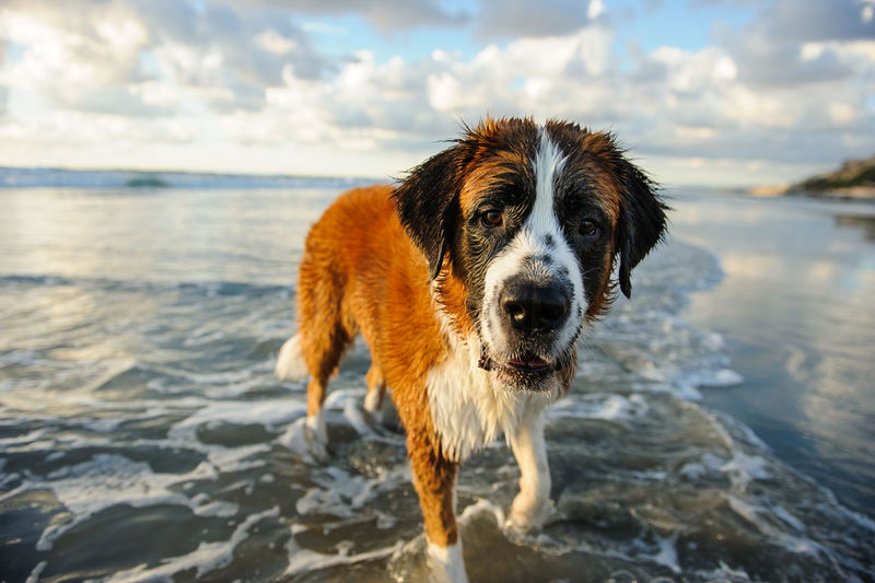 Portrait of dog standing at beach against cloudy sky