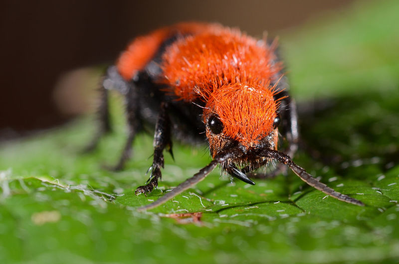Close-up of velvet ant on leaf