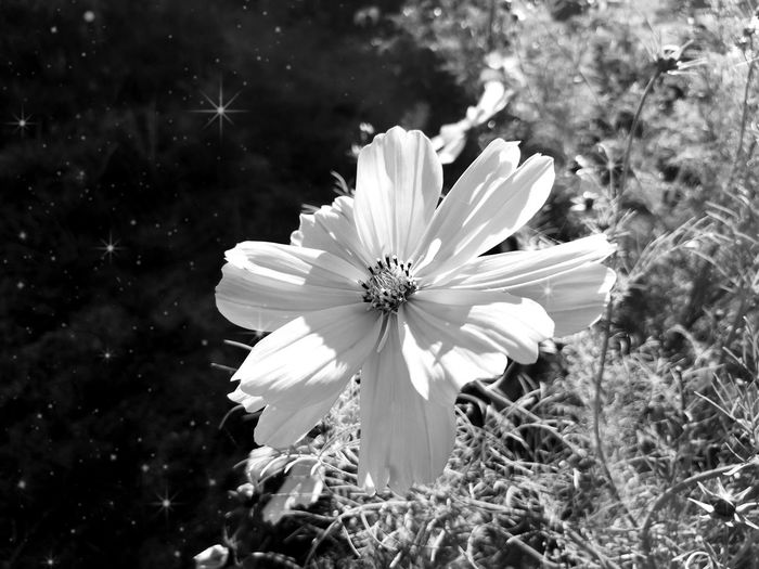 Cosmos Summertime Nature Nature_collection EyeEm Nature Lover EyeEm Masterclass Monochrome Blackandwhite Black And White Black & White Flowerporn Schmuckkörbchen Cosmea Flower Head Flower Petal Close-up Plant Blooming Cosmos Flower