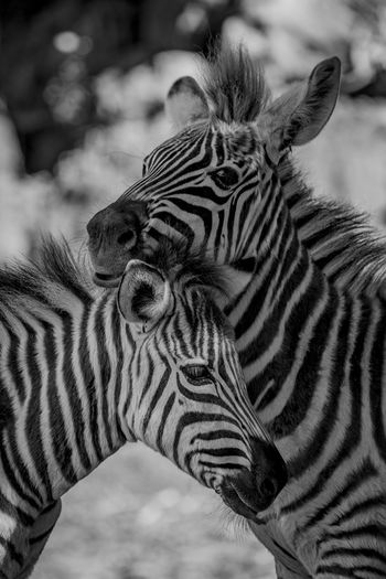 Animal Animal Markings Animal Themes Animal Wildlife Animals In The Wild Black And White Day Focus On Foreground Grevy's Zebra HEAD Headshot Imperial Zebra Mammal Mono Monochrome Nature Nature No People Outdoors Shadow Shadows Striped Wildlife Zebra Zebra