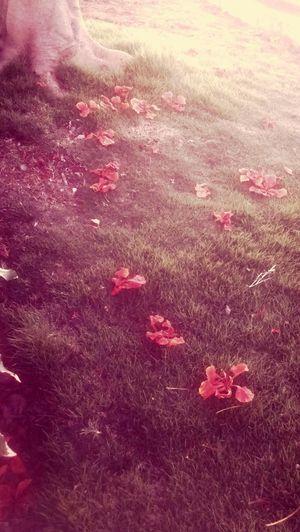 Scarlet Leaves🌿 Grassfield