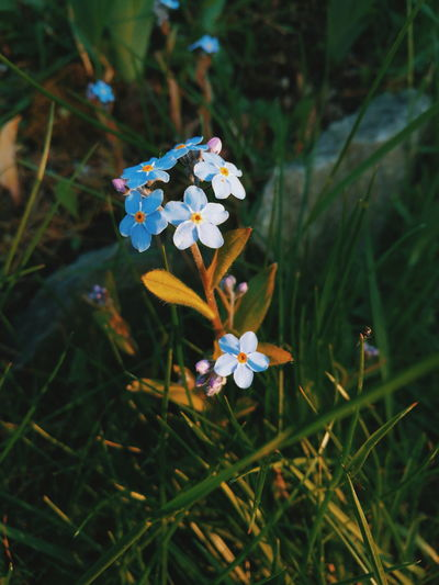 Wildflowers Flowers Flora Flowers And Insects Mobilephotography The Great Outdoors - 2016 EyeEm Awards Vscocam VSCO Nature Harmony Nature Photography Nature HuaweiP9 Huawei Wood Forget-Me-Not Myosotis Sylvatica Forget-me-not Evening Light Evening Sun Natures Diversities