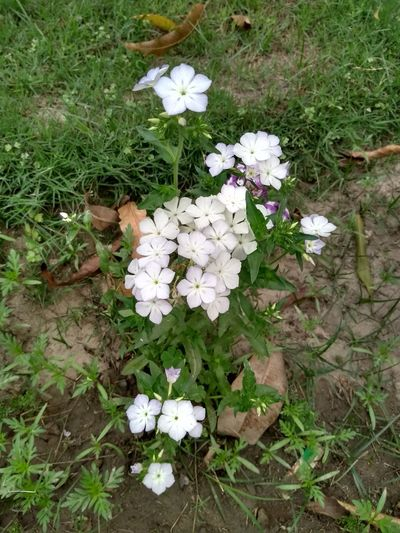 Peaceful !!!! White Center White Flowers White Flowers And Buds Greenery Flower Flower Head Periwinkle High Angle View White Color Field Grass Close-up Plant In Bloom Blossom