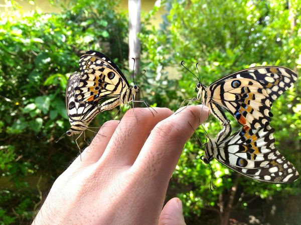 two pairs of mating butterflies in our garden ~ Human Hand Animal Wildlife Nature Close-up Holding Outdoors Animals In The Wild Day Butterflies First Eyeem Photo Nature Mating Pair Of Butterfly Insects  Science World  Science.  Photooftheday EyeEmNewHere DonaldNoolPhotography Fresh On Eyeem  EyeEmNewHere The Great Outdoors - 2017 EyeEm Awards
