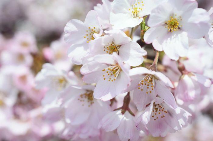 花 サクラ 桜 ピンク 神代曙桜 Flower Cherry Blossoms Cherry Blossom Pink