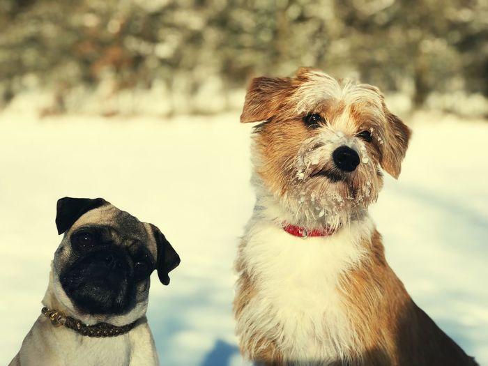 """""""Rippchen and Drusilla"""" Pug And Kromfohrländer Aus Dem Einkreuzprojekt Two Dogs Wintertime Dog Pets Domestic Animals Animal Themes Mammal Focus On Foreground Portrait Looking At Camera Outdoors Sitting No People Cold Temperature Nature Day"""