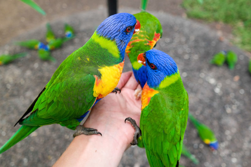 Cropped image of hand feeding rainbow lorikeets