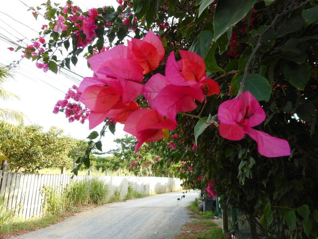 Honduras Roatan Bay Islands Beauty In Nature Blooming Blossom Day Flower Flower Head Fragility Freshness Growth Nature No People Outdoors Petal Pink Color Plant Road Tree