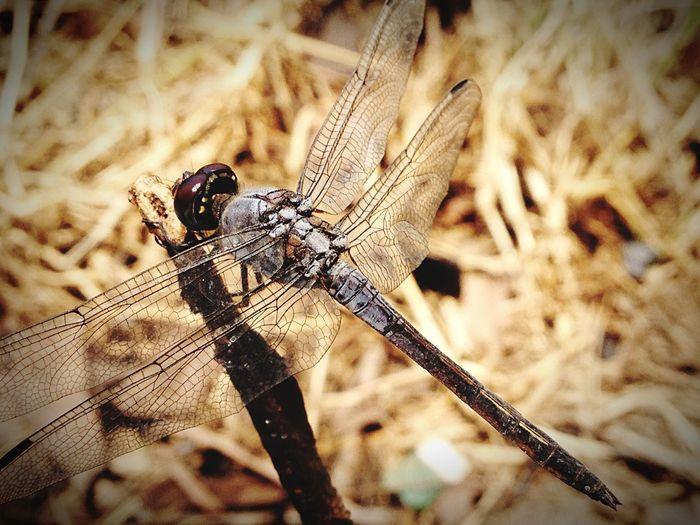 Dragonfly Naturallife