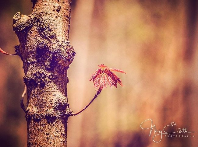 Focus On Foreground No People Tree Day Outdoors Tree Trunk Nature Close-up Beauty In Nature Spring Maple Leaf
