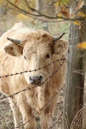 Nature Photography Outside Nature EyeEmNewHere Closeup Nahaufnahme Kuh Farm Weideland Zaun Horn Portrait Close-up Livestock Cow Calf Highland Cattle Farm Animal Horned