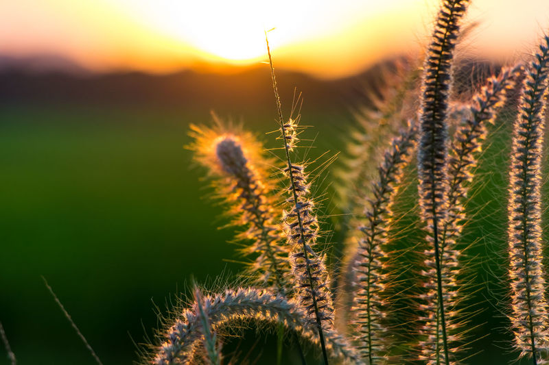 Flower Rural Scene Sunset Sunlight Uncultivated Wheat Cereal Plant Close-up Sky Plant
