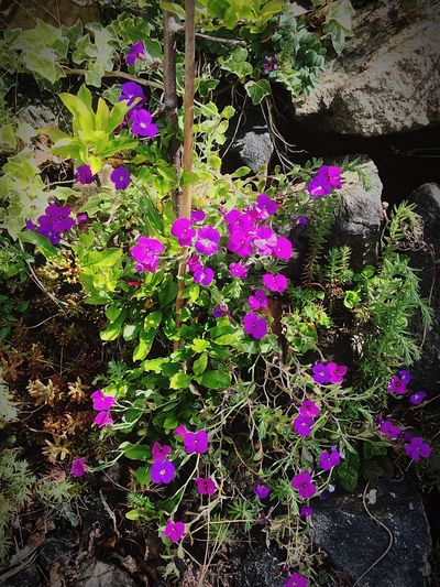 Irish colour Flower Purple Nature Beauty In Nature Fragility No People Petal Blooming Islandmagee Northern Ireland
