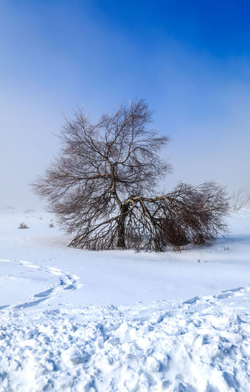 Lonely Tree Snow Winter Cold Temperature Tree Beauty In Nature Scenics - Nature Tranquil Scene Tranquility White Color Landscape Sky Plant No People Land Environment Field Frozen Bare Tree Blue Outdoors Snowing Lonely Tree Tree White Blackforest