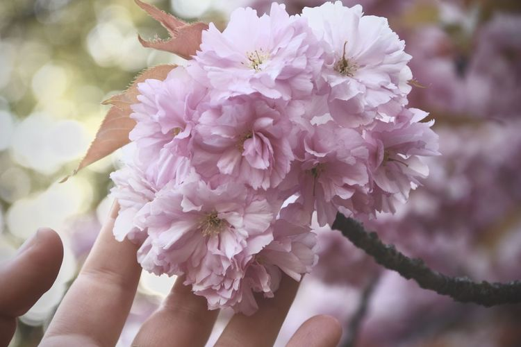 Beauty Cherry Blossoms Close-up EyeEm Nature Collection Fragility Nature Rosa Spring