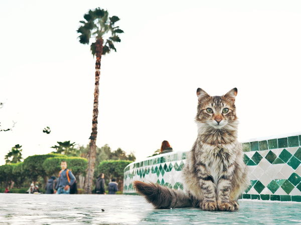 Animal Animal Wildlife Mammal Water River Animals In The Wild Looking At Camera Palm Tree Outdoors Portrait Feline Nature Tree Day Animal Themes No People Sky Cat Portrait Cat Street Cat Street Portrait Morocco 🇲🇦 Morocco Marrakech Neighborhood Map Pet Portraits Connected By Travel