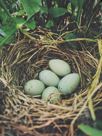 Egg Animal Nest