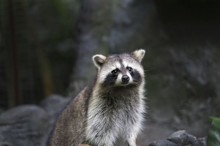 Raccoon At Zoo