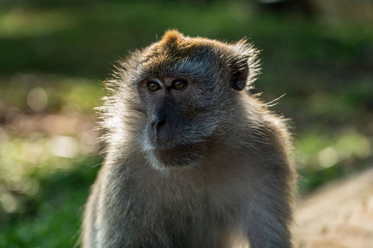 Long-tailed macaque close up portrait. intense looking monkey.