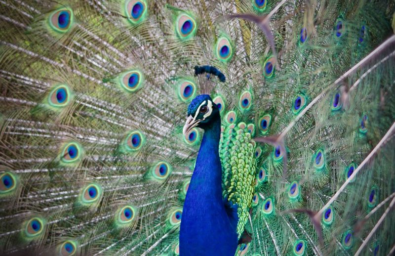 Beauty In Nature Bird Close-up Fanned Out No People One Animal Outdoors Peacock