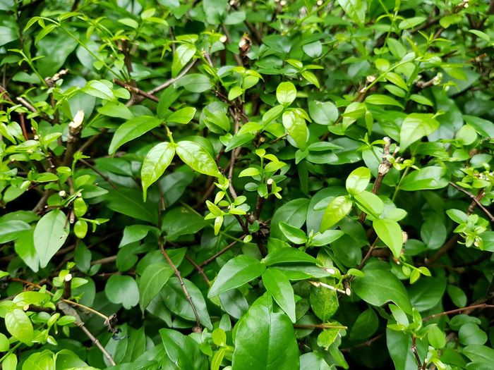 Green leaves pattern in garden park for background Green Color Growth Leaf Plant Part Plant Full Frame Nature Beauty In Nature Day No People Freshness Backgrounds Outdoors Close-up Tranquility Food And Drink Selective Focus Food High Angle View Focus On Foreground Clover Wallpaper Park Garden Growth Leaves Jungle Bush Botanical Garden Herb