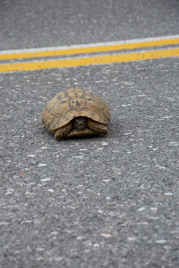 Some pre summer shots Road Turtle One Animal Tortoise Reptile Transportation Animal Wildlife Asphalt Animals In The Wild No People Yellow Day Sign Animal Shell Security Shell Boredom Tortoise Shell