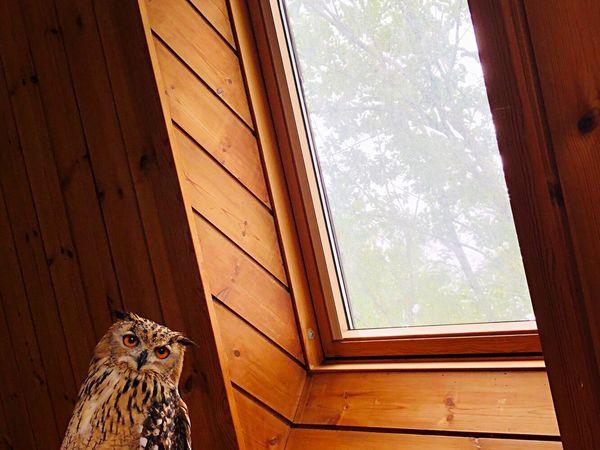 天窓とふくろう 自然 緑 天窓 特別 神秘 芸術 やわらかい 幸福 やさしい 光と影 光 モデル 猛禽類 静寂 フクロウ ベンガルワシミミズク Owl Rock Eagle Owl Animal Animal Themes Window One Animal Day Pets Nature Wood - Material No People Animal Wildlife