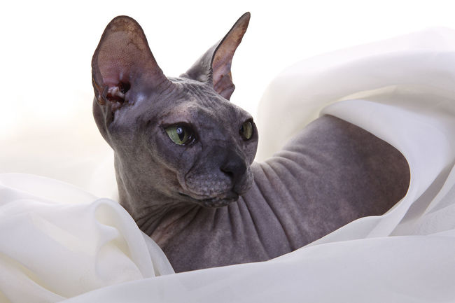 Animal Themes Cat Cats Close-up Day Domestic Animals Don Sphynx Indoors  Mammal No People One Animal Pets