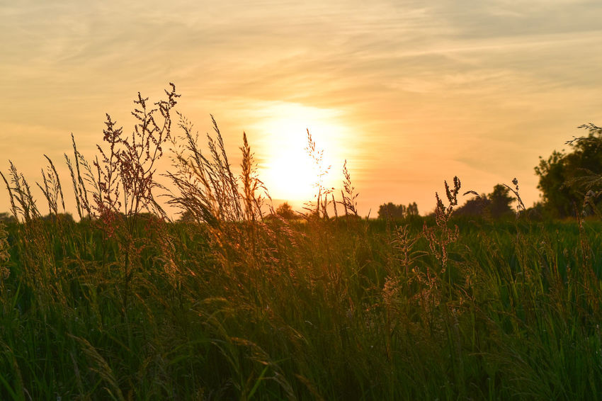 Through the grass. Sunsets Sunset Sunset_collection Sunset #sun #clouds #skylovers #sky #nature #beautifulinnature #naturalbeauty #photography #landscape #countryside #grass #evening #photography #sun The Great Outdoors - 2017 EyeEm Awards Wildflower Ear Of Wheat Wheat Uncultivated