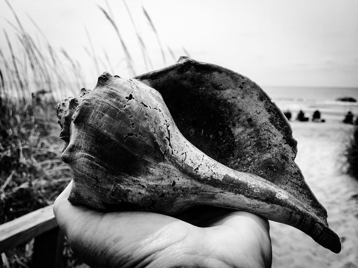 Cropped Hand Holding Conch Shell On Beach