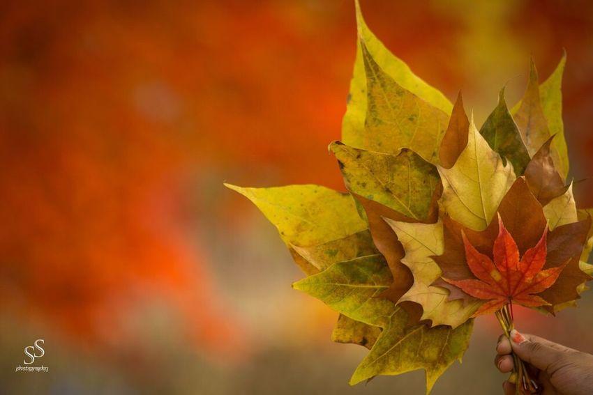 Autumn leaves Autumn Leaf Maple Leaf Beauty In Nature